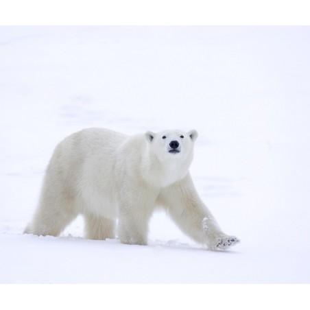 Ours polaire , impression sur Déco'R,  Imprim'Déco spécialiste du grand format