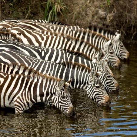 Famille de zèbres à la rivière , impression sur Déco'R,  Imprim'Déco spécialiste du grand format