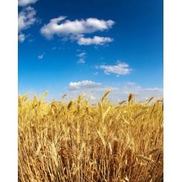 Les blés en été, impression sur Déco'R