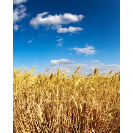 Panoramique blés d'été, impression sur Déco'R,  Imprim'Déco spécialiste du grand format