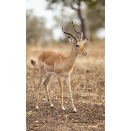 Gazelle dans la savane, impression sur Déco'R